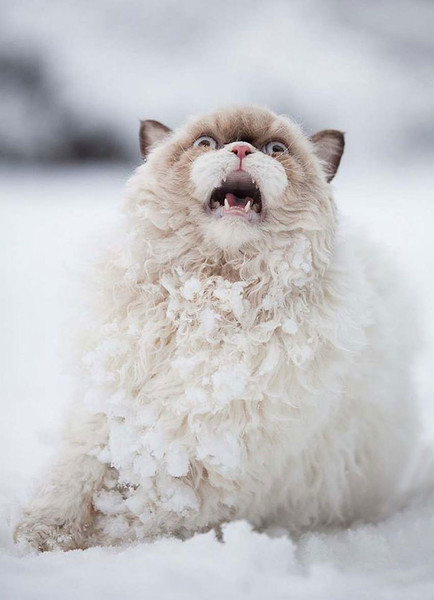 Panicing Persian Cat