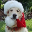 Golden Retriever Santa