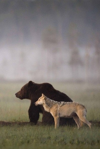 Grizzly Bear & Wolf