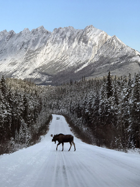 Alaska Has Strict Sex Rules For Their Moose