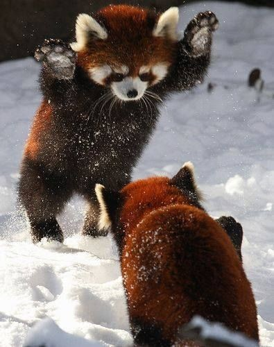 Playful Red Pandas
