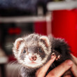 Female Ferrets Need Sex To Stay Alive