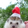 Hedgehog Santa